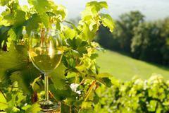 glass of white wine exposed towards the sun, vineyard on background - stock photo