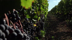 Red grapes ready to be harvested Stock Footage