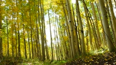 A hiker walks away from the camera in a golden aspen forest. - stock footage