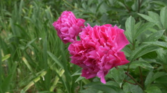 Bright fuchsia coloured peonies. Ravello, Italy. Stock Footage