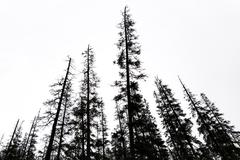 Old conifer trees in scandinavia Stock Photos