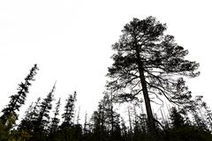 old conifer trees in scandinavia - stock photo