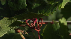 Close up on the tendrils clusters Stock Footage