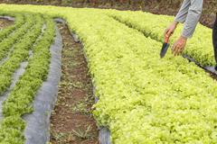 Vegetable garden ,with plastic film protected in land. Stock Photos