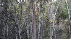 wide shot of Aspen Trees  - stock footage