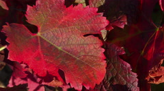 Vine leaves in autumn colors Stock Footage
