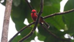 Vermillion flycatcher, Galapagos Stock Footage