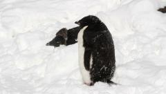 Penguins in the snow - stock footage