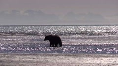 Grizzley bear against Kenai Penisula - stock footage