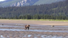 Two Cubs plays in water Stock Footage