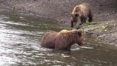 Grizzly bear diving for fish Stock Footage