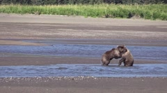 Grizzly cubs play fight Stock Footage