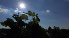 October sun behind the vine Stock Footage