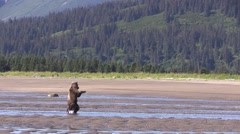 Cub plays in water Stock Footage