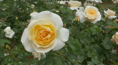 White and yellow rose with waterdrops. Ravello, Italy. - stock footage