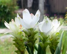 white tulip of siam. selective focus - stock photo