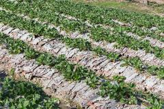 strawberry fruit in field plantation of agriculture - stock photo