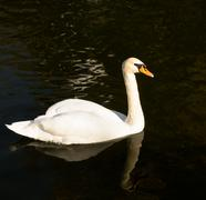 Adult White Swan on a Pond Stock Photos