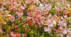 ripe blueberries (Vaccinium) with autumn colored leafs and ice and snow covered - stock footage