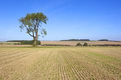 Farmland ash tree Stock Photos