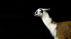 Lama in Belgrade zoo - stock footage