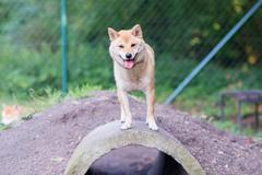 female shiba inu dog on a pipie in dog park - stock photo