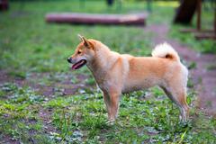 female shiba inu dog in dog park - stock photo