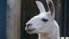 Lama in Belgrade zoo - stock footage