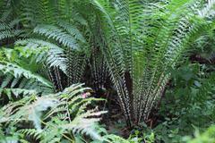 Bush of fern Pteridium Stock Photos