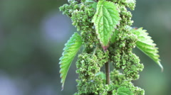 Seeds of nettles Stock Footage