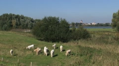 Stock Video Footage of Charolais cattle graze in the river forelands of the river Waal, Boven-Merwede