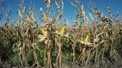 Maize Field Stock Footage