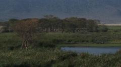 Hippopotamus ( hippopotamus amphibius) group grazing Stock Footage