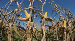 Corn Field with Ripe Corn on The Stalk Stock Footage