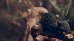 Mouse on the branch close up Stock Footage