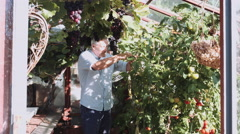 Retired Senior Adult male in glass house gardening - stock footage