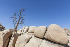 Dry tree on rock formation in Joshua Tree National Park, California, USA. Kuvituskuvat