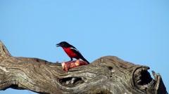 crimson breasted shrike, namibia - stock footage