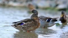 Wild ducks enjoy the rest Stock Footage