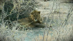 Lion lazing in the shade, etosha national park, namibia Stock Footage