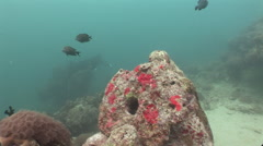 Manta Rays With Yap Stone Money Stock Footage
