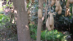 The ripe fruits of the sausage tree Stock Footage