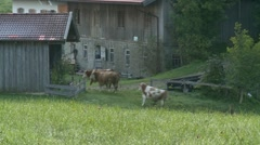 Dairy cattle cows walk to barn for milking Stock Footage