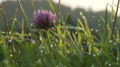 Morning dew on grass and a pink flower Stock Footage
