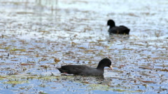 Coot in the water (Fulica atra) Stock Footage