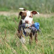 Beautiful puppy of American Pit Bull Terrier Stock Photos