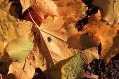 Fallen autumn leaves on the ground - stock photo