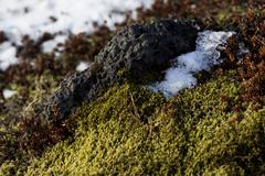 Closeup of fragile Icelandic moss Stock Photos