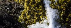 Closeup of fragile Icelandic moss - stock photo
