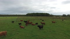 4k aerial highland cattle in the field Stock Footage